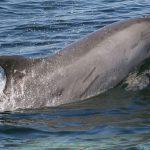 イルカが尾びれを上下に動かす理由は肺呼吸にあった!