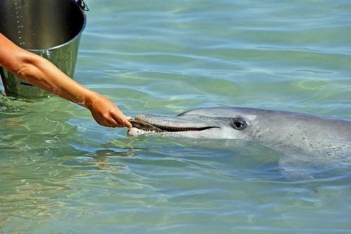 イルカ 繁殖 方法 難しい