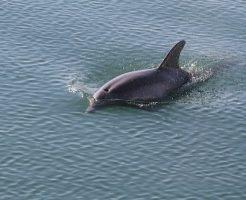 イルカ 妊婦 助ける