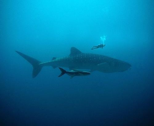 シャチ イルカ クジラ 知能