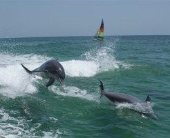日本 野生 イルカ 泳ぐ
