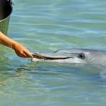 イルカの繁殖方法を確立するのは難しい