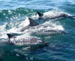 日本海 イルカ 群れ