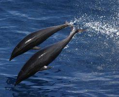 イルカ 日本 食べる