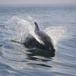 イルカは水中で生活しながら、どうやって呼吸をしたり息継ぎをしたりするのでしょう?
